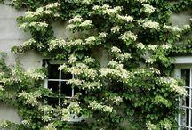 Evergreen climbing flowering plants on trellis