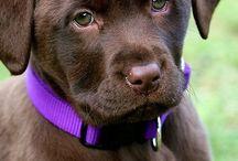 Čokoládový Labrador / Pejsci
