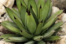 AGAVE #Plants / #Agave #Plants #Gardening