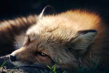 Foxes / Amazing photographs of various species of foxes.