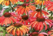 Echinacea Beauty