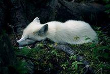 xx foxes xx