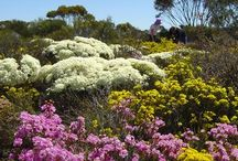 West Australian Wildflowers / We run Wildflower Tours from August through November when the blooms are at their best - we've gathered some photos of some of the best that you can expect to see on a Luxury Outback Wildflower Tour.