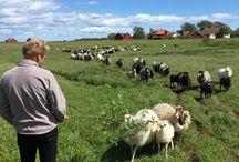 Dyr landbruk