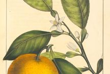 Plant Medicine: Wild Orange