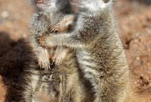 meerkats and other creatures