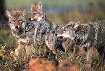 Animals   ( Coyotes )