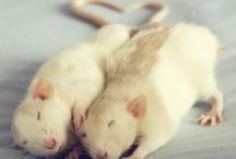 Potkanci