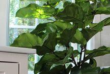 Indoor plants / Fiddle leaf fig