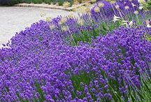 Levandule-zahrada