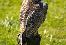 Eagles and Birds of prey
