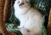 Ragdoll kissoja