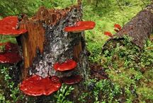 The King of Herbs / Details of this benefits of this amazing herb; Ganoderma also known as Reishi.  Treasured by the Emperors of Chain over 4000 years ago.