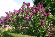 Lilacs / Different varieties of Syringa vulgaris that are 'lilac' coloured