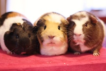 Guinea Pigs / #GuineaPigs are always fun and can be wonderful family pets.   / by Lowell Major
