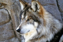 Wolves are pawesome / Love wolves? Then you'll love this board! Collaborators let's please only pin stuff that's appropriate to this board. Thank you!