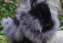 Lionhead rabbit / Lionhead rabbit collection