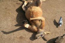 Chillin' kangaroo