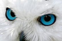 snow owl..♡