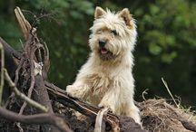 carein terrier