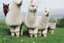 Alpacas Llamas