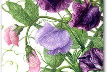 Luktärt / Växter