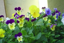 my mini pansy flower