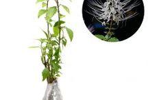 Sakit Ginjal / Semua tanaman dalam board ini bisa dikirim keseluruh Indonesia, silahkan order ya, tel: 0341-599399 I SMS center: 08569020300 atau kunjungi website kami www.kebunbibit.id