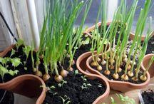 Зелёный огород на подоконнике