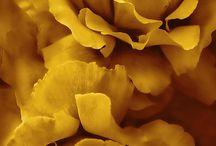 musturd colour