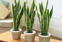 Botánica / Hermosas plantas para mejorar el aire y la belleza del hogar