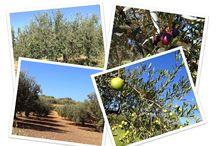 Novità dal mondo delle olive - - - The olives' world news