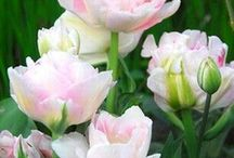 Tulips  Lalele