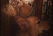 My Goldens