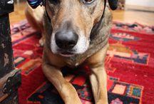 Copilot  / My mutt, a Shepard, Greyhound, Hound-hound, Unicorn, Deer mix.