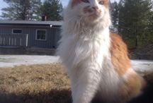 Katten min / Tiger'n heter han