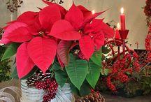 Flores de Navidad / Flores de Navidad