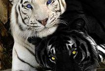 Tigres negros e brancos
