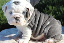 Bulldawgs / I love bulldogs they are beautiful!