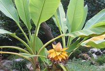 Musa lasiocarpa