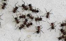 μυρμήγκιά