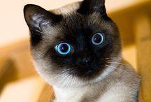 Gatti Siamesi - Siamese Cats