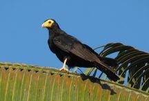 Birds of the world - Falcons