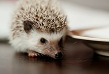 Hedgehogs / Another one of my favourite animals!