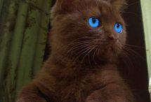 gato azu