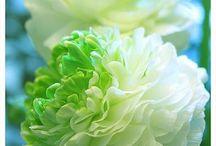 Bloemen Ranonkel