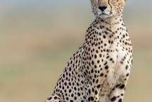 Ghepardo...il mio animale preferito! / BD