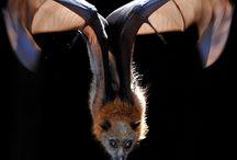 Adoro los murciélagos