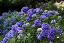 Hydrangeas Blue