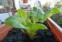 Veg for your balcony garden / An diesem Gemüse werdet ihr auf eurem Balkon viel Freude haben. :-)